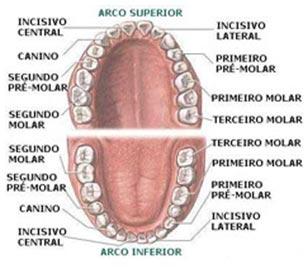 anatomia-dental_2