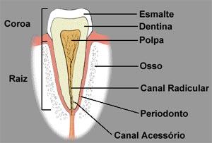 anatomia-dental_3